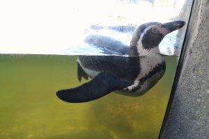 swimmingpenguin